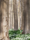 Δασικό nemorosa Anamone λουλουδιών άνοιξη Στοκ Φωτογραφίες