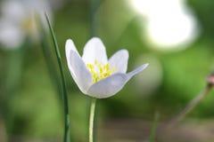 Δασικό nemorosa Anemone λουλουδιών snowdrop Στοκ εικόνα με δικαίωμα ελεύθερης χρήσης