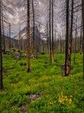 Δασικό regrowth μετά από τις πυρκαγιές στοκ φωτογραφία με δικαίωμα ελεύθερης χρήσης