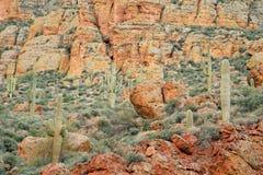 δασικό saguaro κάκτων Στοκ Εικόνα