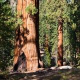 δασικό sequoia Στοκ Εικόνες