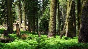δασικό sequoia Στοκ φωτογραφία με δικαίωμα ελεύθερης χρήσης