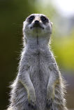δασμός meerkat στοκ φωτογραφίες