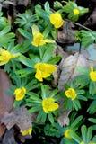 Δασόβια λουλούδια, κίτρινο ξύλινο Anemone Στοκ φωτογραφία με δικαίωμα ελεύθερης χρήσης