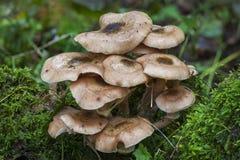 Δασόβιοι μύκητες Στοκ Φωτογραφίες