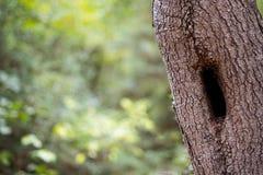 Δασόβιο δέντρο, κατασκευασμένος φλοιός και κοίλος με το μαλακό υπόβαθρο εστίασης στοκ εικόνα με δικαίωμα ελεύθερης χρήσης