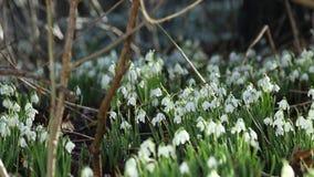 Δασόβιο Snowdrops στο φωτεινό φως πρωινού φιλμ μικρού μήκους