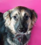Δασύτριχο καφετί σκυλί στο ροζ Στοκ Φωτογραφίες