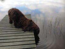 Δασύτριχο πόσιμο νερό σκυλιών στη λίμνη Στοκ Εικόνα