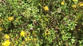 Δασύτριχο bumblebee συλλέγει το νέκταρ από τα κίτρινα λουλούδια wort του ST John ` s Μύγες από το λουλούδι στο λουλούδι απόθεμα βίντεο