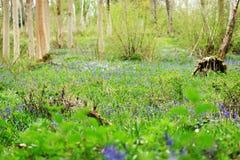 Δασώδης περιοχή άνοιξη με τον πρώτο bluebells Στοκ εικόνα με δικαίωμα ελεύθερης χρήσης