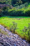 Δασώδης περιοχή ελιών Στοκ Φωτογραφίες