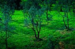 Δασώδης περιοχή ελιών Στοκ φωτογραφία με δικαίωμα ελεύθερης χρήσης