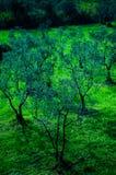 Δασώδης περιοχή ελιών Στοκ Φωτογραφία