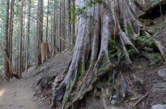 Δασώδης περιοχή με τα ίχνη πεζοπορίας σε ένα κωνοφόρο δάσος, κοντά στο Πόρτλαντ Όρεγκον Στοκ Εικόνα