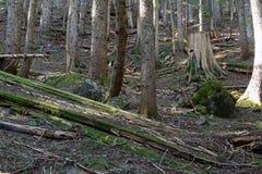 Δασώδης περιοχή με τα ίχνη πεζοπορίας σε ένα κωνοφόρο δάσος, κοντά στο Πόρτλαντ Όρεγκον Στοκ Εικόνες