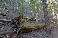 Δασώδης περιοχή με τα ίχνη πεζοπορίας σε ένα κωνοφόρο δάσος, κοντά στο Πόρτλαντ Όρεγκον Στοκ εικόνα με δικαίωμα ελεύθερης χρήσης