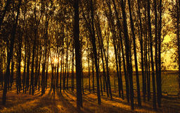 Δασώδη δασικά δέντρα αναδρομικά φωτισμένα με το χρυσό φως του ήλιου Στοκ Εικόνες