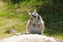 δαχτυλίδι κερκοπίθηκων που παρακολουθείται Στοκ Φωτογραφίες