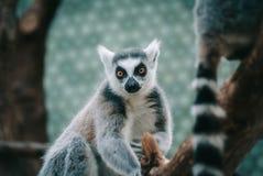 Δαχτυλίδι-παρακολουθημένος κερκοπίθηκος μια limp εξέταση ευθεία τη κάμερα σε έναν ζωολογικό κήπο με το ζωηρόχρωμο υπόβαθρο στοκ φωτογραφία με δικαίωμα ελεύθερης χρήσης