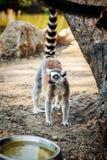 Δαχτυλίδι-παρακολουθημένος κερκοπίθηκος Catta ` κερκοπιθήκων ` στο σαφάρι-πάρκο Στοκ φωτογραφία με δικαίωμα ελεύθερης χρήσης