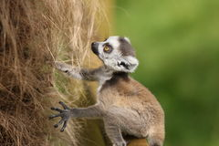 Δαχτυλίδι-παρακολουθημένος μωρό κερκοπίθηκος Στοκ Φωτογραφία