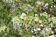Δαχτυλίδι-necked parakeets στην Ολλανδία ακριβώς που τρώει τα μούρα στοκ φωτογραφία με δικαίωμα ελεύθερης χρήσης