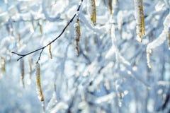 Δαχτυλίδια αυτιών παγωμένο πέρα από τον κλάδο μιας σημύδας Στοκ εικόνα με δικαίωμα ελεύθερης χρήσης