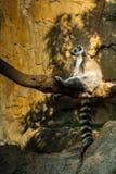 Δαχτυλίδι-παρακολουθημένη η Μαδαγασκάρη κατάψυξη συνεδρίασης catta κερκοπιθήκων σε έναν κλάδο Στοκ φωτογραφίες με δικαίωμα ελεύθερης χρήσης