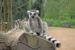 Δαχτυλίδι-παρακολουθημένοι κερκοπίθηκοι που κάθονται σε ένα δέντρο σε έναν ζωολογικό κήπο Στοκ φωτογραφία με δικαίωμα ελεύθερης χρήσης