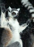 Δαχτυλίδι-παρακολουθημένος κερκοπίθηκος (κερκοπίθηκος Catta) πίσω από έναν ζωολογικό κήπο κλουβιών γυαλιού Στοκ Εικόνες