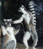 Δαχτυλίδι-παρακολουθημένος κερκοπίθηκος (κερκοπίθηκος Catta) Στοκ φωτογραφία με δικαίωμα ελεύθερης χρήσης