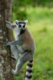 Δαχτυλίδι-παρακολουθημένος κερκοπίθηκος στη Μαδαγασκάρη Στοκ Φωτογραφίες