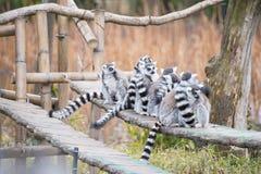 Δαχτυλίδι-παρακολουθημένος κερκοπίθηκος στο ζωολογικό κήπο Στοκ Εικόνες