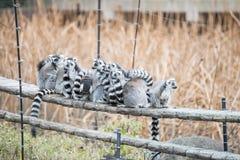 Δαχτυλίδι-παρακολουθημένος κερκοπίθηκος στο ζωολογικό κήπο Στοκ Εικόνα