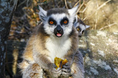Δαχτυλίδι-παρακολουθημένος κερκοπίθηκος (catta κερκοπιθήκων) και χαριτωμένο φλυτζάνι, Μαδαγασκάρη Στοκ εικόνα με δικαίωμα ελεύθερης χρήσης