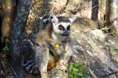 Δαχτυλίδι-παρακολουθημένος κερκοπίθηκος (catta κερκοπιθήκων) και χαριτωμένο φλυτζάνι, Μαδαγασκάρη Στοκ Εικόνα