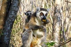 Δαχτυλίδι-παρακολουθημένος κερκοπίθηκος (catta κερκοπιθήκων) και χαριτωμένο φλυτζάνι, Μαδαγασκάρη Στοκ φωτογραφία με δικαίωμα ελεύθερης χρήσης