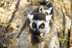 Δαχτυλίδι-παρακολουθημένος κερκοπίθηκος (catta κερκοπιθήκων) και χαριτωμένο φλυτζάνι, Μαδαγασκάρη Στοκ Φωτογραφία