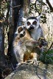 Δαχτυλίδι-παρακολουθημένος κερκοπίθηκος (catta κερκοπιθήκων) και χαριτωμένο φλυτζάνι, Μαδαγασκάρη Στοκ Φωτογραφίες
