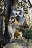 Δαχτυλίδι-παρακολουθημένος κερκοπίθηκος (catta κερκοπιθήκων) και χαριτωμένο φλυτζάνι, Μαδαγασκάρη Στοκ Εικόνες