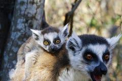 Δαχτυλίδι-παρακολουθημένος κερκοπίθηκος (catta κερκοπιθήκων) και χαριτωμένο φλυτζάνι, Μαδαγασκάρη Στοκ φωτογραφίες με δικαίωμα ελεύθερης χρήσης
