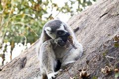Δαχτυλίδι-παρακολουθημένος κερκοπίθηκος (catta κερκοπιθήκων), Μαδαγασκάρη Στοκ φωτογραφίες με δικαίωμα ελεύθερης χρήσης