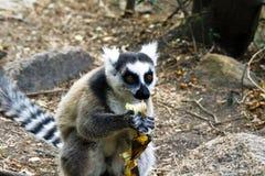 Δαχτυλίδι-παρακολουθημένος κερκοπίθηκος (catta κερκοπιθήκων), Μαδαγασκάρη Στοκ εικόνες με δικαίωμα ελεύθερης χρήσης