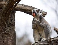 Δαχτυλίδι-παρακολουθημένος κερκοπίθηκος (catta κερκοπιθήκων) που απολαμβάνει ένα lollipop Στοκ Φωτογραφίες