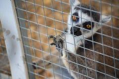 Δαχτυλίδι-παρακολουθημένος κερκοπίθηκος (catta κερκοπιθήκων) στο κλουβί Στοκ φωτογραφία με δικαίωμα ελεύθερης χρήσης
