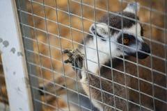Δαχτυλίδι-παρακολουθημένος κερκοπίθηκος (catta κερκοπιθήκων) στο κλουβί Στοκ Φωτογραφίες