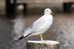 Δαχτυλίδι-τιμολογημένο Seagull Στοκ Φωτογραφίες
