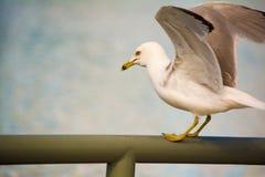 Δαχτυλίδι-τιμολογημένο Seagull Στοκ Φωτογραφία