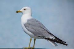 Δαχτυλίδι-τιμολογημένο Seagull Στοκ εικόνες με δικαίωμα ελεύθερης χρήσης
